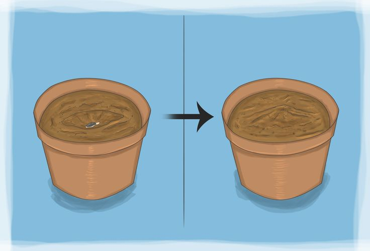 how to grow rollinia in a temperate climate