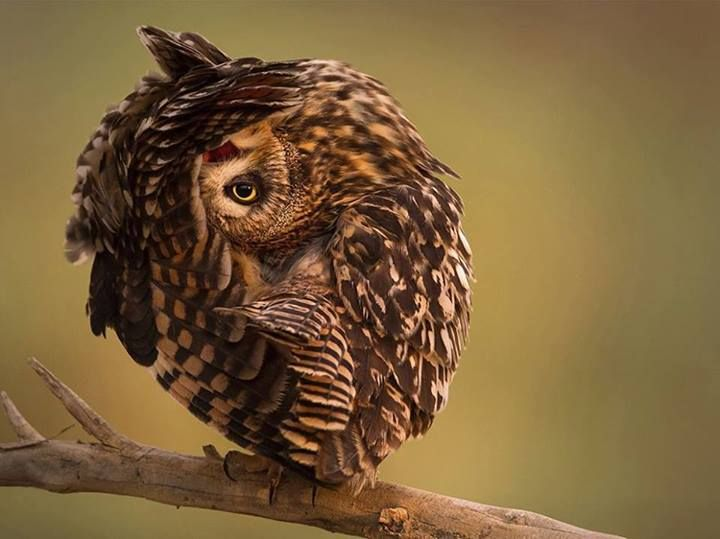 ONEYED OWL  Photo from National Geographic, without explanation, seems to me like an owl cleaning its wing feathers, having its head upside down.