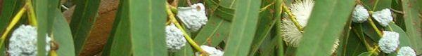 Eucalyptus Essential Oil for Aromatherapy - Pure Essential Oils and Aromatherapy Methods of Application of Therapeutic Essential Oils for He...