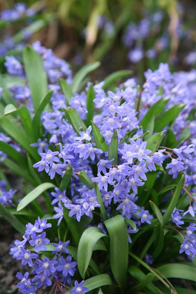 'Glory of the snow bulbs' Chionodoxa luciliae - front under tree