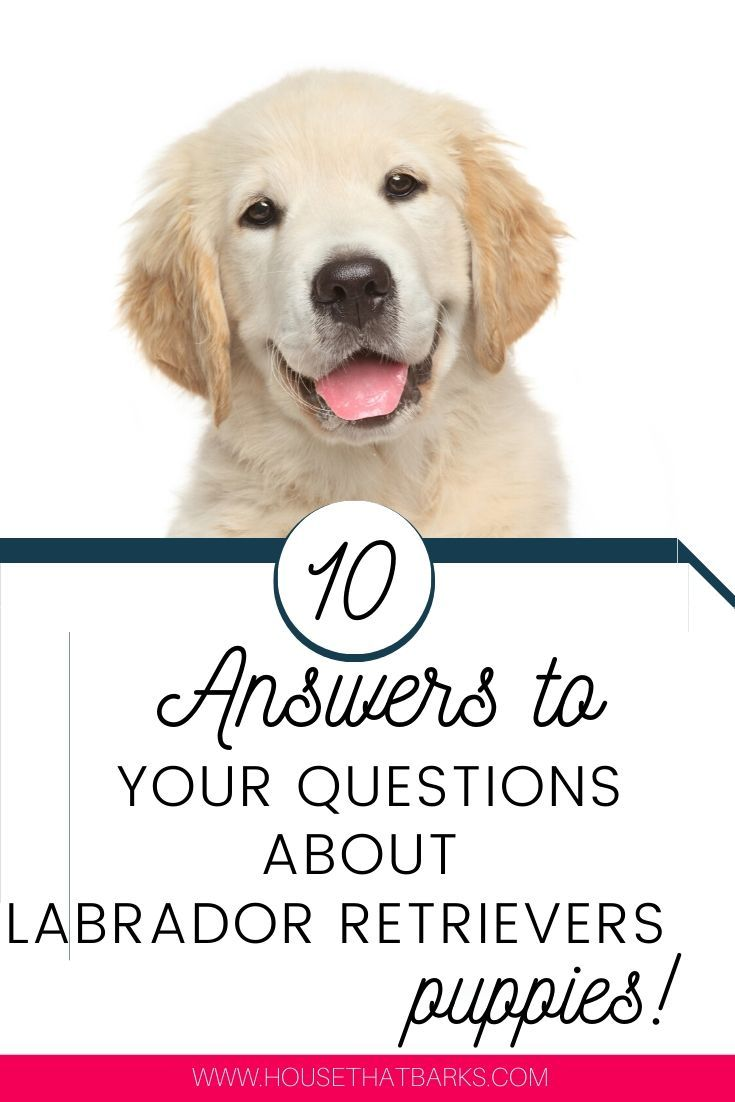 Top 10 Answers To Your Labrador Retriever Questions Labs Lab