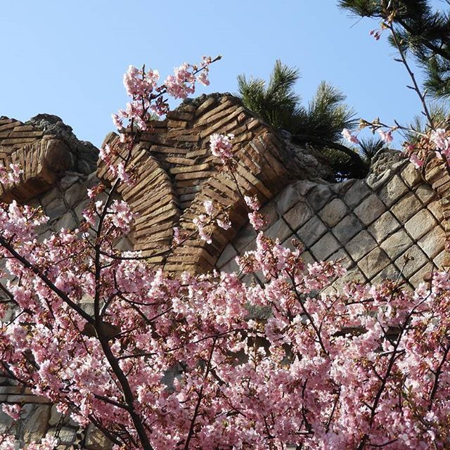 【yuumi.maihama】さんのInstagramをピンしています。 《ディズニーシーの桜が咲きました😃  河津桜🌸  #tokyodisneyresort#disneylove#disney #tokyodisneysea#photo#cute #ジャーニー#happiness#期間限定 #disney2017#15周年#🌸#桜 #ディズニー写真#ディズニー写真部 #ディズニー写真隊#春 #趣味#大好き#桜の木 #夢の国 #東京ディズニーリゾート #東京ディズニーシー #ディズニー #ディズニーカメラ隊 #ディズニー好きな人と繋がりたい》