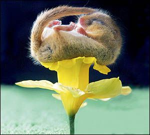 Hazel Dormouse, native to the UK and most photographed of all the species. http://cutepics.org/wp-content/uploads/2011/10/cute-dormouse1.jpg