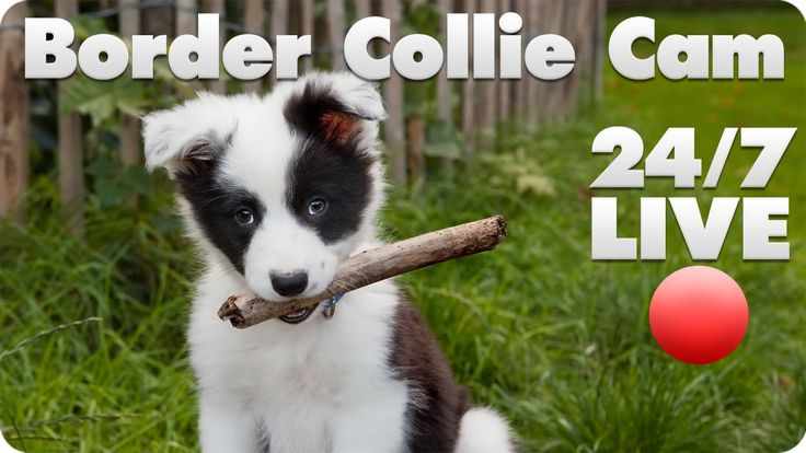Border Collie Puppy Live Cam - Luna at Contact Point Border Collies is giving birth live right now (8-29-14 - 4:30pm PDT) on the Border Collie Puppy Cam. So far she's had 2 black tri males & 1 black tri female. X-rays showed a possible 6-7 puppies. If you haven't watched the BC puppy cam before it's really great, you can drop in 24/7 & watch as little or as much as you want until they are old enough to go to their new homes <3