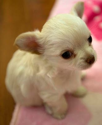 Adorable cream colored long haired chihuahua puppy.