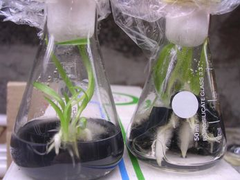 About Orchids & micropropagation
