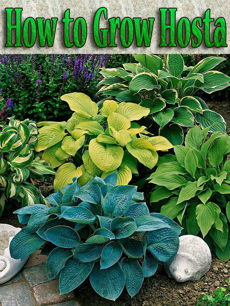 How to Grow Hosta. An ideal foliage plant for shady areas, hosta grows well under deciduous trees, in borders, and as a ground cover. #Hosta #plants #garden