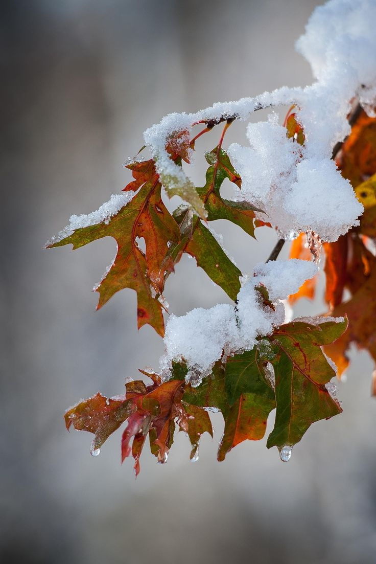 Early Snow and Oak Leaves - I took my camera for a walk on our farm after an overnight snow. It was an early snow and many of the fall leaves were still on the trees. I shot this wide open to really blur the background. Enjoy!