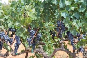 """Wein   Mallorca entwickelt sich mittlerweile zu einer bekannten Weinregion. Sowohl traditionelle Tropfen als auch die neuen Weine sind nicht nur auf Mallorca beliebt. Die anerkannte Weinqualität hat die Ursprungsbezeichnung """"Pla i Llevant de Mallorca"""". Marktführer ist hier sicher die Bodega Macià Batle, als Traditionalist versteht sich José L. Ferrer, ein altehrwürdiges Gut ist Miquel Oliver. Zudem kommen zahlreiche neue junge Winzer, die den Markt bewegen."""