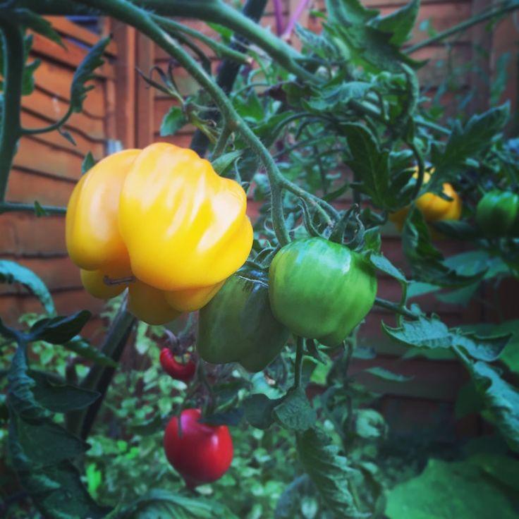 Yellow Ruffled tomato