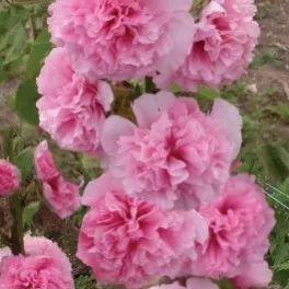 Topoľovka ružová Sawyers - Alcea rosea - semená topoľovky - 0,1 gr