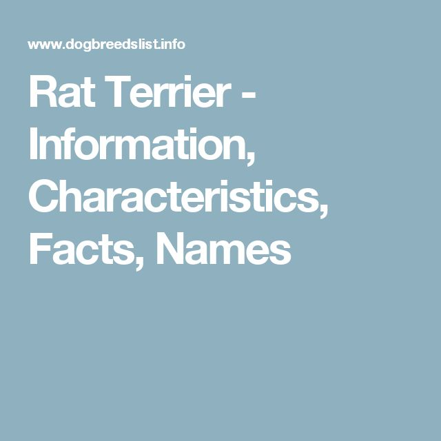 Rat Terrier - Information, Characteristics, Facts, Names