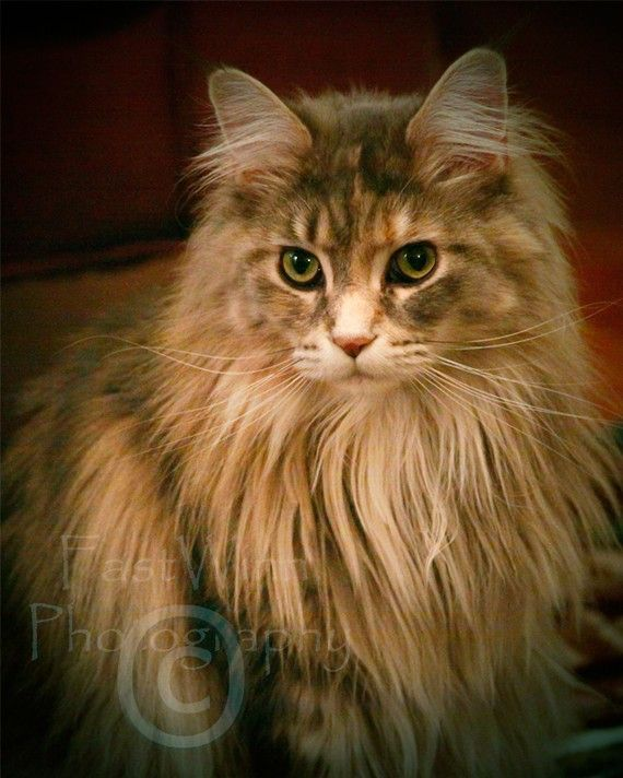 Fiona - Fine Art Photography of a Queen Maine Coon Cat