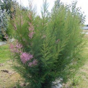 Tamarix ramosissima 'Pink Cascade' - Tamaris d'été rose