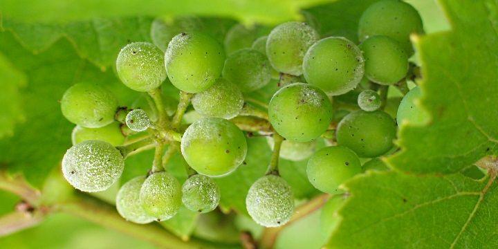 vinjournalen.se -  Vin Fakta : En utsökt druva: Grüner Veltliner |  Det finns över 42000 tunnland med vinstockar av druvan Grüner Veltliner som odlas i Österrike. Detta är en populär druva som får väldigt mycket kärlek av österrikarna och druvan producerar ett torrt, vitt vin för praktiskt taget alla tillfällen. Detta vin har ofta har gröna frukter som äpplen ell... http://wp.me/p73gTR-3iv