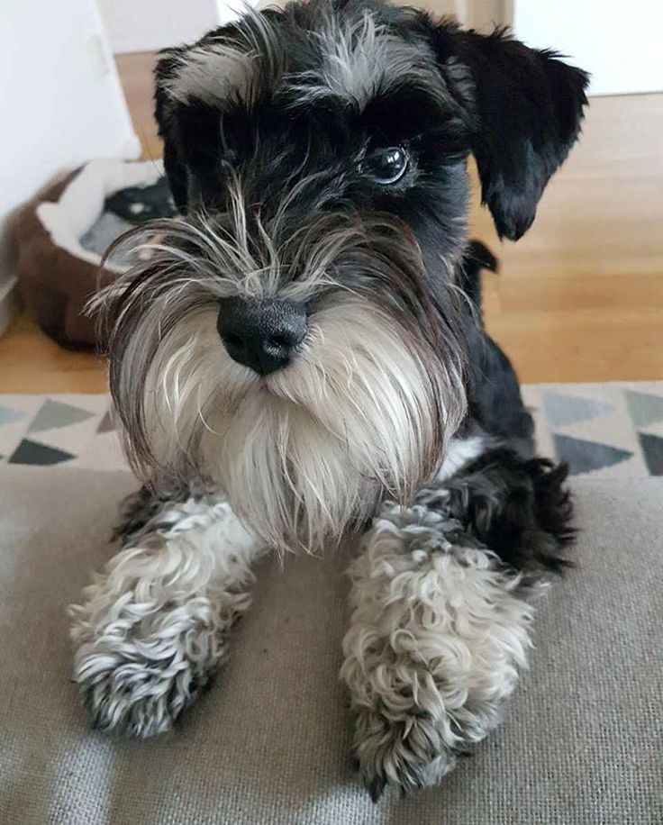 "142 Likes, 4 Comments - O T T O (@minischnauzerotto) on Instagram: ""Play with me, mother. ‍♂️‍♂️ #dogsofig #dvärgschnauzer #dvergschnauzer #minischnauzer…"""
