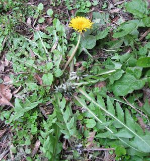 Proverbs 31 Woman: How to Make Dandelion Tea