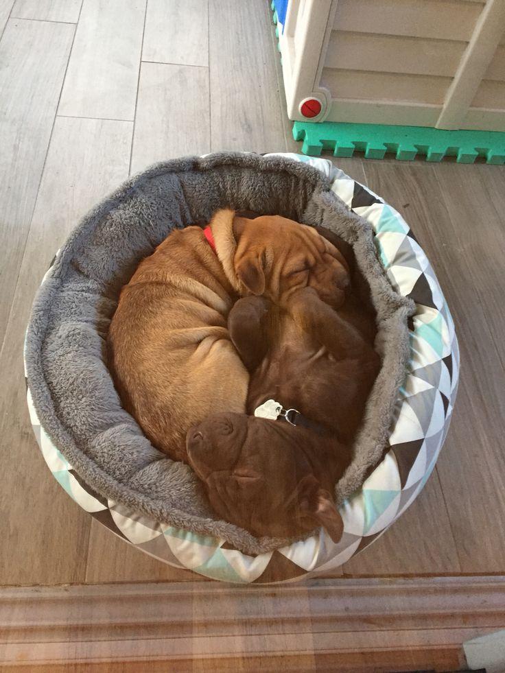 Ying yang puppies shar Pei cross beagle