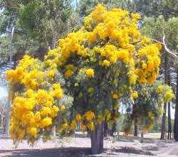 West Australian Christmas Tree, you know its nearly Christmas when these start to flower.