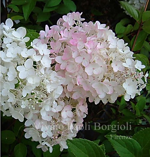 hydrangea paniculata 39 grandiflora 39 this one is in the. Black Bedroom Furniture Sets. Home Design Ideas