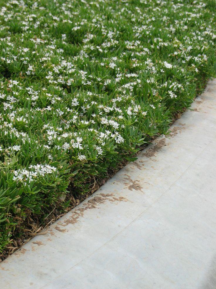 Myoporum parvifolium - Uses: Groundcover and erosion control Fire resistant Heat tolerant Wind Tolerant Coastal Tolerant