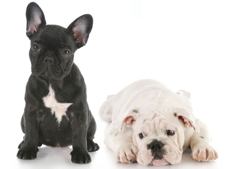 1000 id es sur le th me bulldog fran es sur pinterest bouledogue fran ais chiens de compagnie. Black Bedroom Furniture Sets. Home Design Ideas