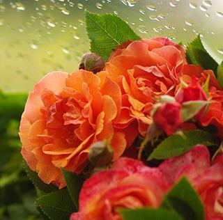 Biologische rozen van Rozenkwekerij de Bierkreek - webshop online!  Zeeuws Vlaanderen