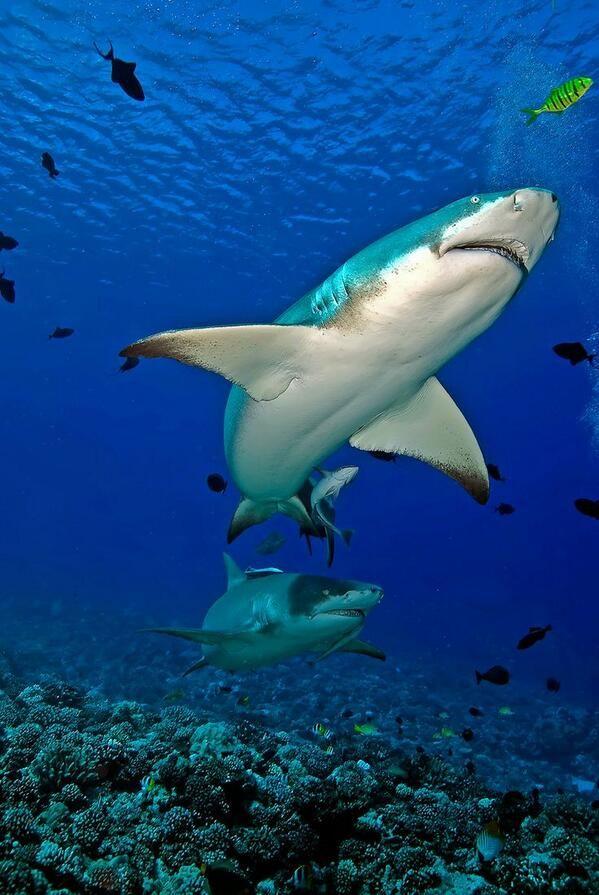 Lemon sharks. @ Shark Hunters