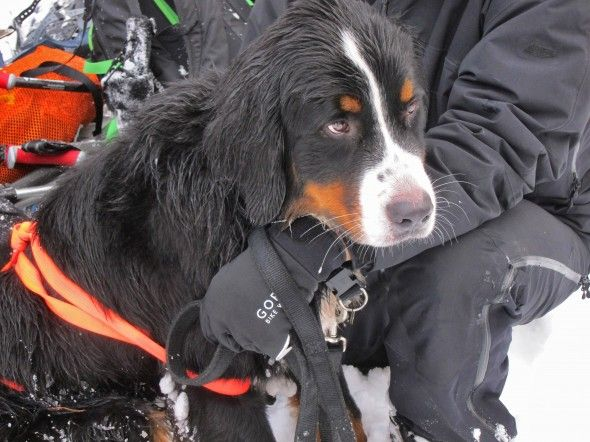 Dogs with jobs - Bernese Mountain Dog rescue