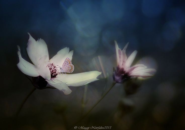 Papillon by Noirfalise Maggy on 500px