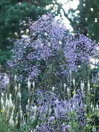 Thalictrum delavayi 'Hewitt's Double' - for the window border