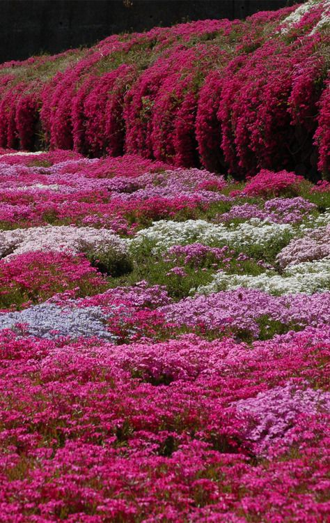 Phlox subulata, Creeping Phlox ...a lovely low growing ground cover , masses of colorful blooms that cascade off a wall or spread as shown here