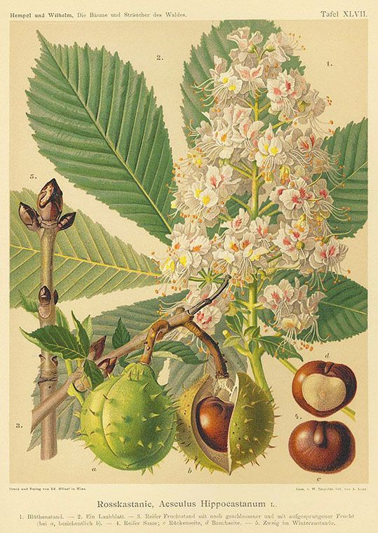 Chestnut - Rosskastanie, 1890. Chromolithography based on his watercolor drawings. In: Hempel & Wilhelm, Die Bäume und Sträucher des Waldes