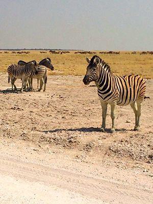 zebra Safari at the Etosha National Park - Namibia, Africa