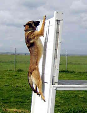 See...they can do a vertical leap! Ammo escapes thus way.. Malinois