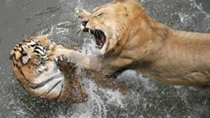 Lions Documentary   Life of Lions Hunting, Fighting, Mating Best Nature ...