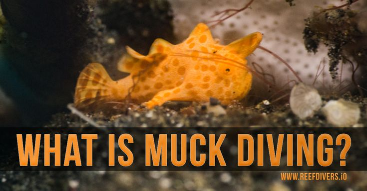 Muck Diving Not all dive sites are created equal. #Scubadiving #Scuba #Diving #frogfish #muckdiving