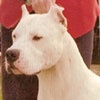 Dogo Argentino - bred in Argentina as hunting pack dogs