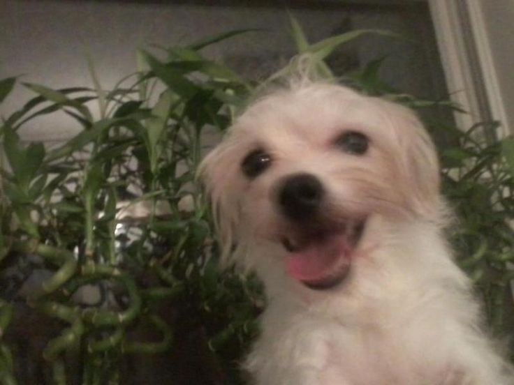 Suzy is an adoptable Havanese searching for a forever