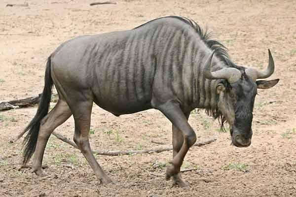 blue wildebeest - Hledat Googlem