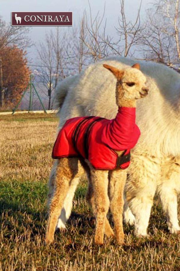 Hello, let's play, okay? :D #alpaca #youngalpaca #coniraya #alpakino #alpacas