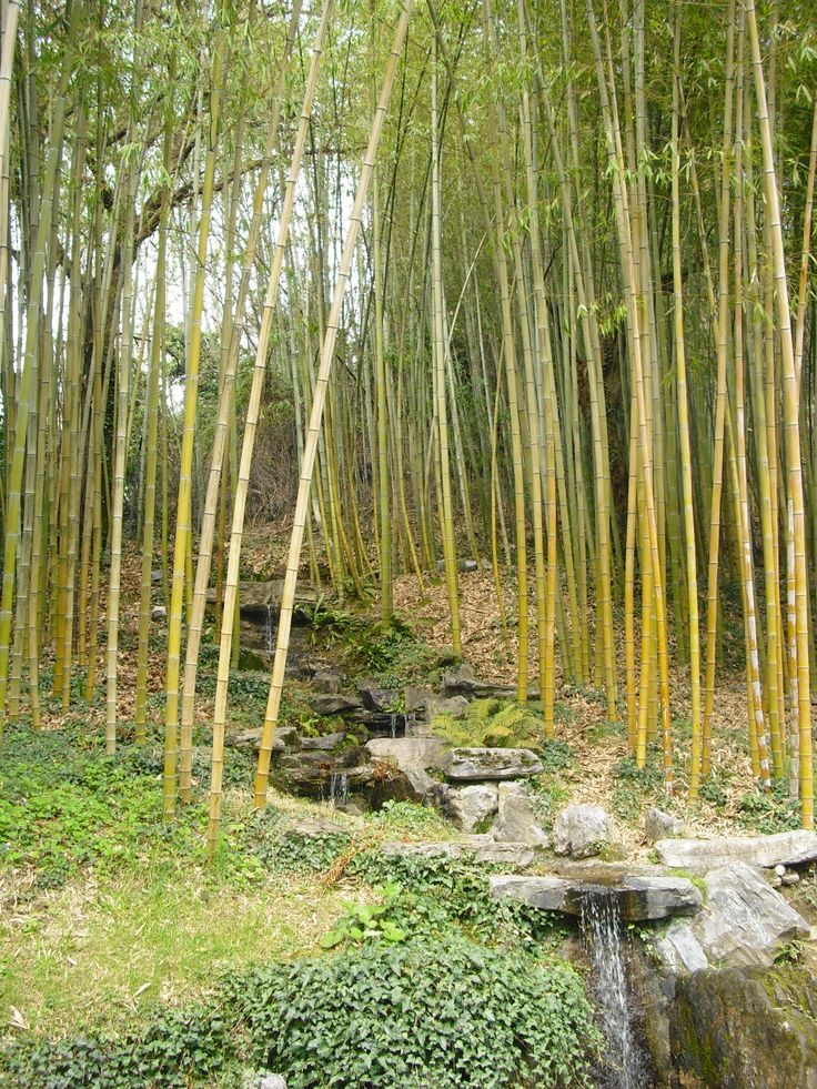 The fascinating Bamboo garden in Villa Carlotta.