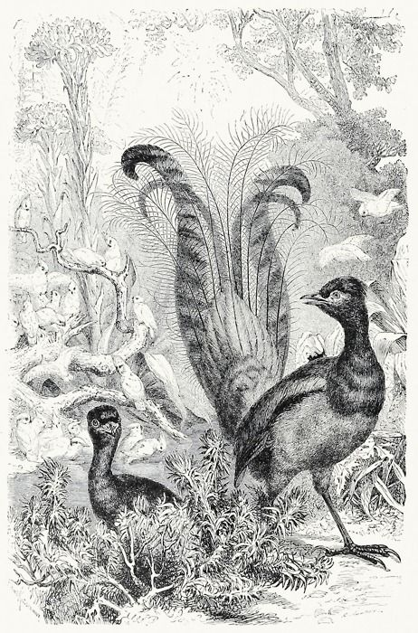 Lyre-bird.    From Animate creation vol. 3, by J. G. Wood, New York, 1898.    (Source: archive.org)