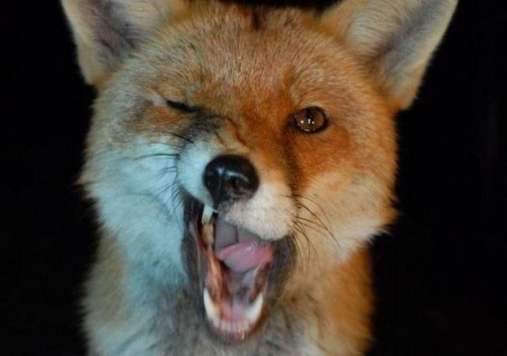 Картинки про лисичек прикольные