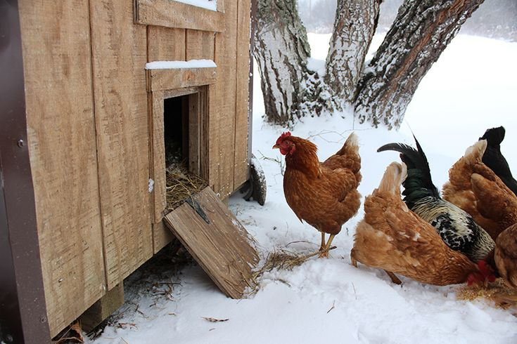 Caring For Your Livestock This Winter | Building a chicken ...