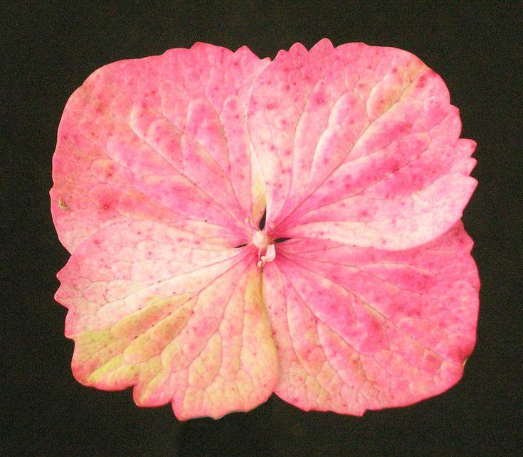 Hydrangea serrata 'Preziosa' ray floret.