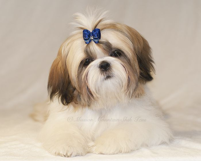 Shih Tzu Puppy For Sale In Condon Mt Adn 66083 On Puppyfinder