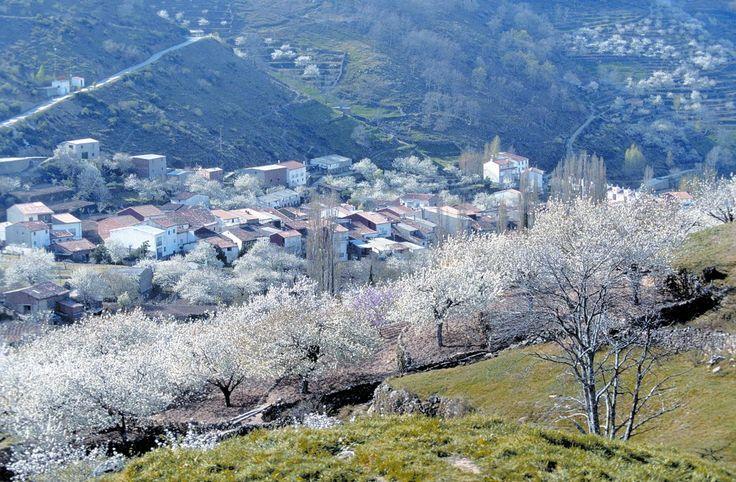 Valle de Jerte, Extremaduras. Las cerezas, fin de Marzo, principios de Abril