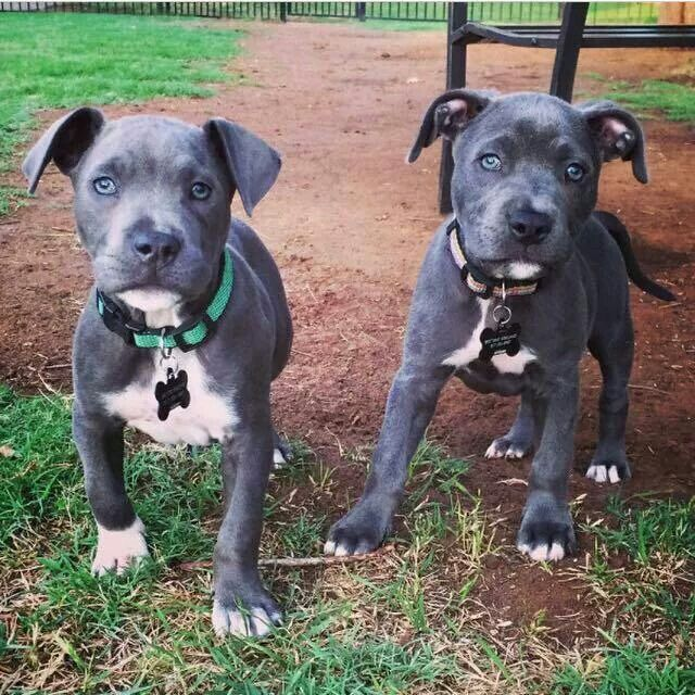 Best 25+ Blue Pit Puppies Ideas Only On Pinterest