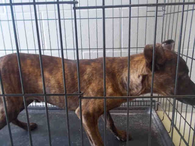 This DOG - ID#A010506 I am a female, brown brindle Pit Bull Terrier mix. The shelter staff think I am about 5 months old. I am currently staying with a Foster Family, please call the shelter if you would like to see me. I have been in shelter care since Mar 15, 2017. This information was refreshed 2 minutes ago and may not represent all of the animals at the Fort Bend County Animal Services Shelter.